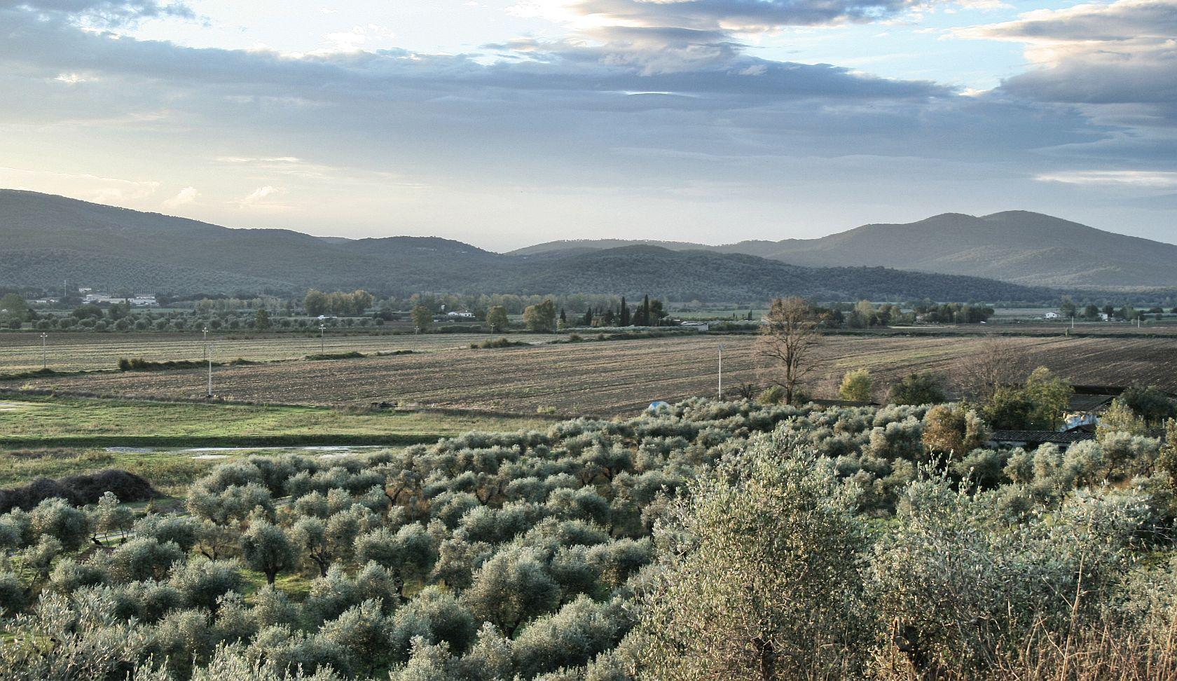 vista panoramica sugli ulivi della Tenuta di Montellattaia in Toscana