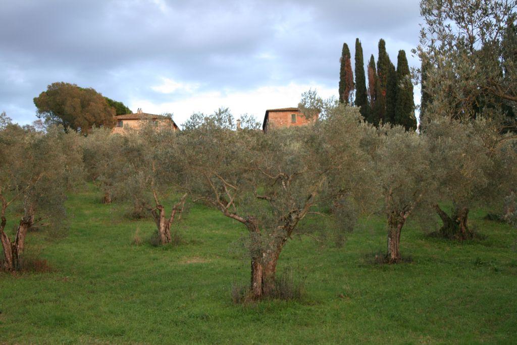 Vista della Tenuta di Montelattaia dai Filari di Olivi dell'azienda agricola LeoVerde