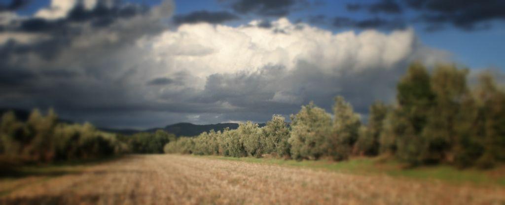 Filari di Olivi della Tenuta di Montelattaia per la produzione di Olio Extra Vergine