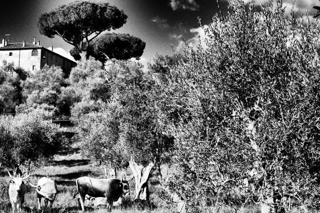 Tenuta di Montelattaia foto in bianco e enero con ulivi, bvilla e mucche