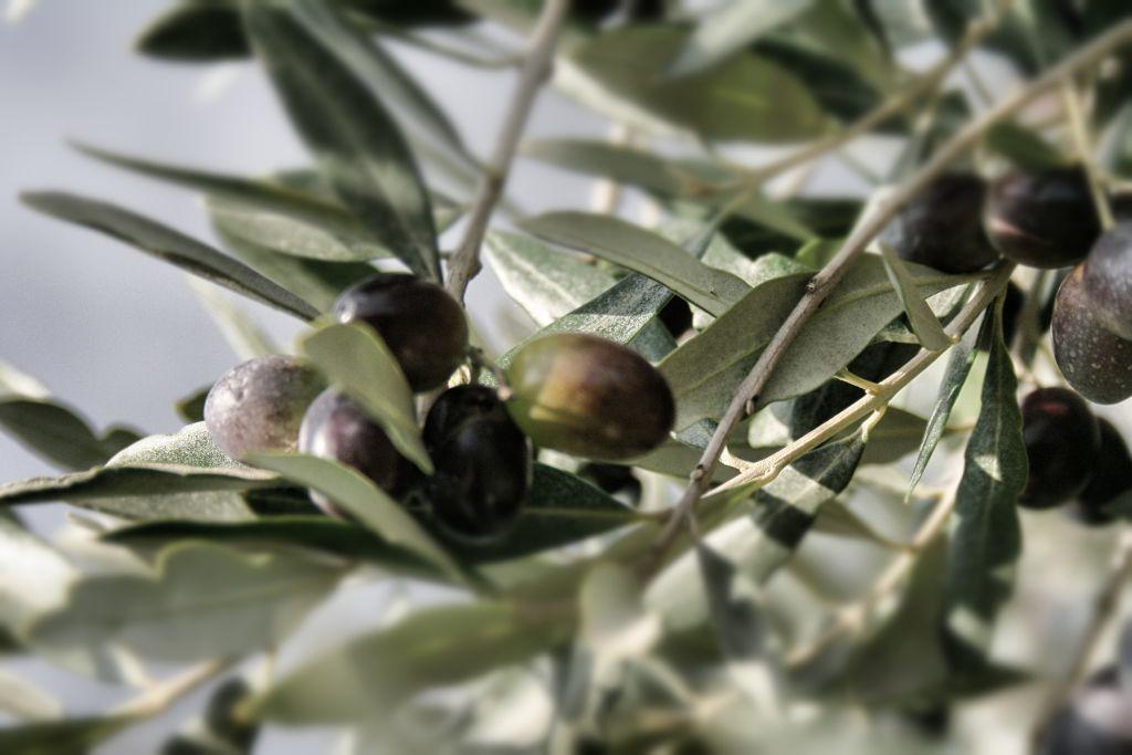 Olive Frantoio per la produzione di Olio Extra Vergine