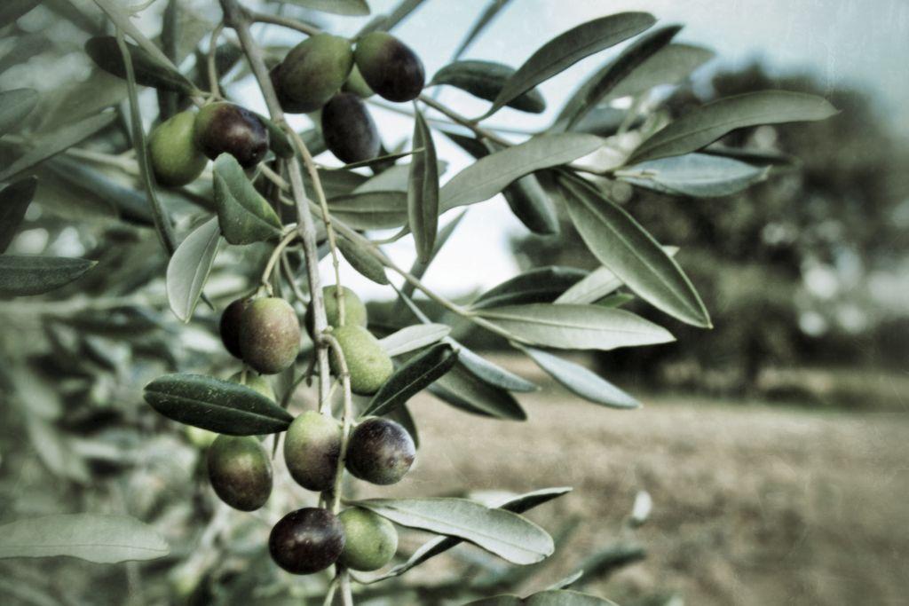 Olive Toscane per la produzione di Olio Extra Vergine