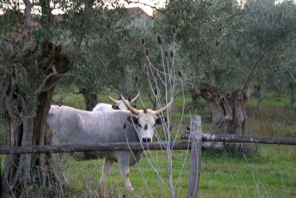 Mucche tra gli olivi della Tenuta di Montelattaia in Toscana