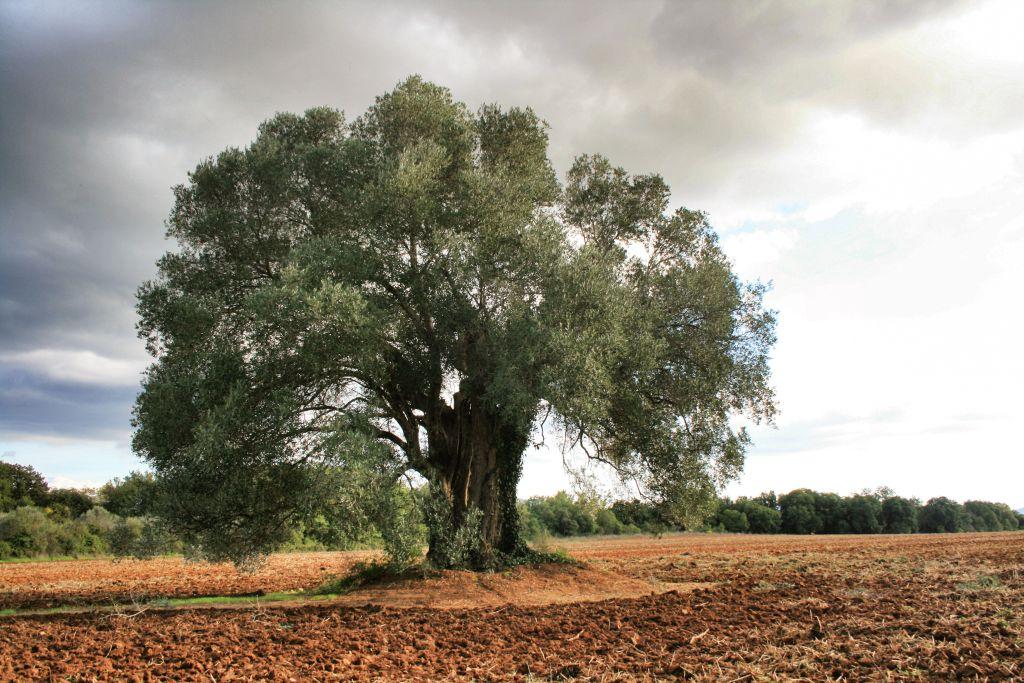 Olivo Centanario usato per produrre Olio Extra Vergine Montelattaia