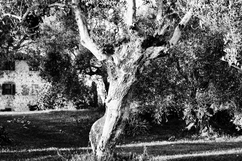 Tronco di Olivo centenario posizionato vicino alla piscina