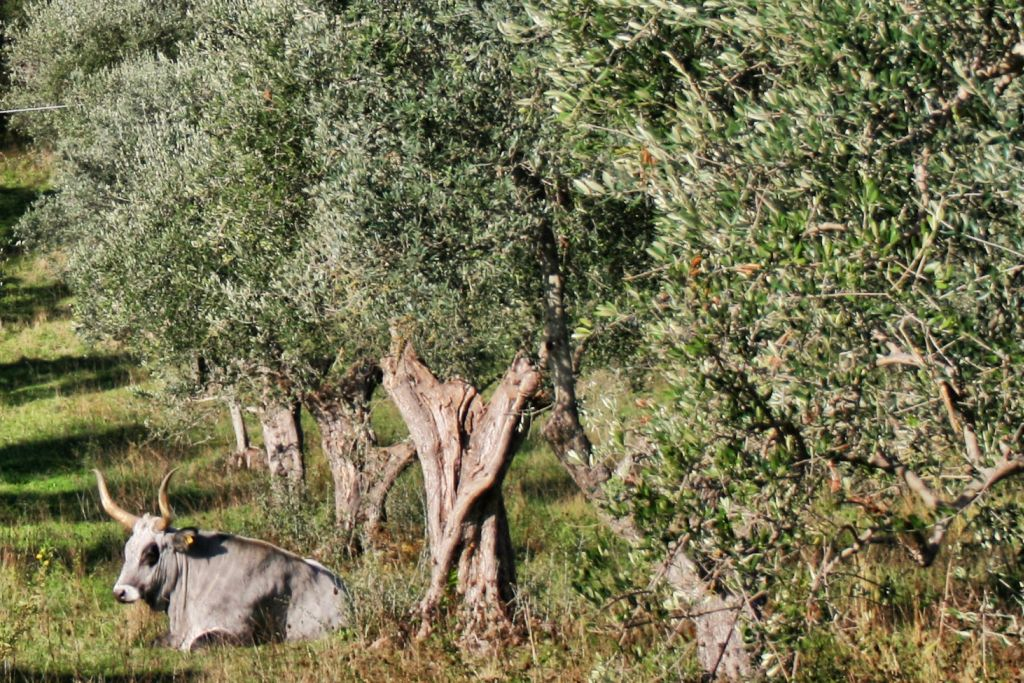Mucche tra gli olivi di Montelattaia in Toscana