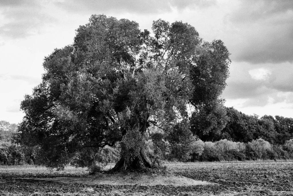 Olivo centario per la produzione di Olio Extravergine Montelattaia
