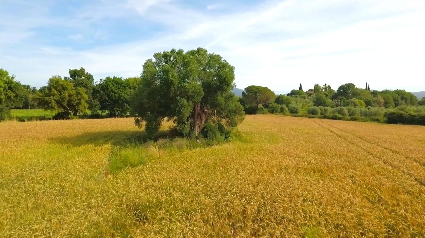 Olivo centenario Toscano Tenuta di Montellataia